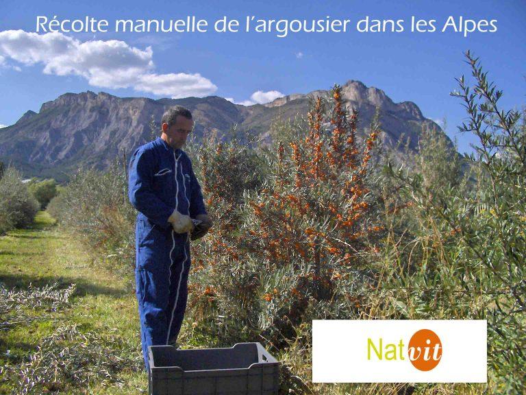 Récolte Argousier